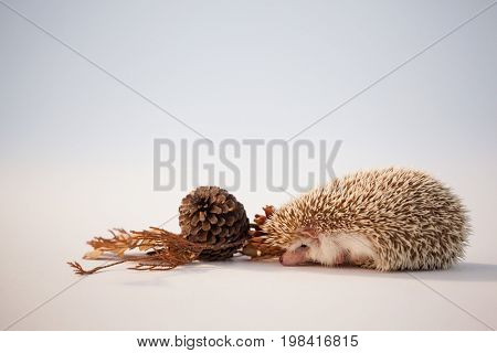 Close-up of porcupine with pine cone and autumn leaves on white background