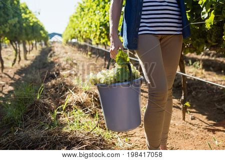 Low section of female vintner holding harvested grapes in bucket at vineyard