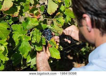 Vintner examining grapes in vineyard on a sunny day