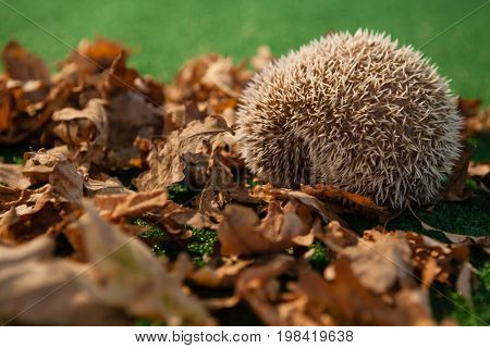 Close-up of porcupine on autumn leaves