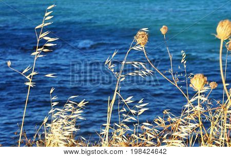 Dry blur yellow dry plants grass and blue sea background greek motive