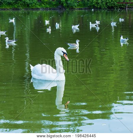 Mute swan and young terns on water of pond