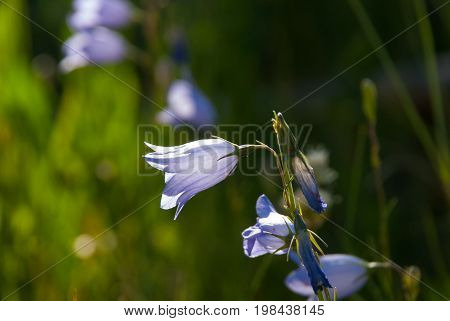 A blue and purple Parry's Bellflower greets the morning on the Colorado Wyoming border