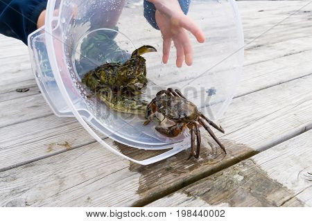 European green chore crab fished and caught and later released to freedom poster