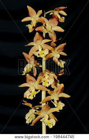 Calanthe bicolor Orchid flower  Against dark background