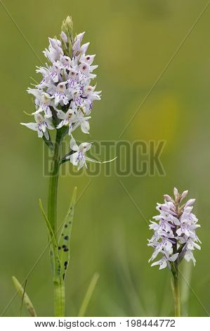 Common Spotted Orchid - Dactylorhiza fushsii Two flowers