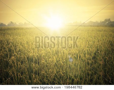 Image of beautiful rice field landscape shot at sunset time