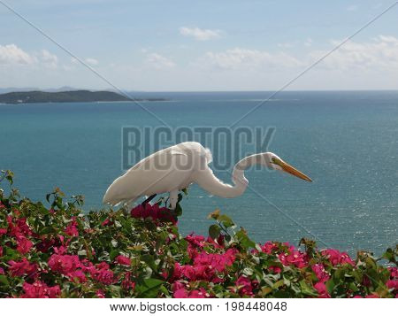 Great White Egret on Cliffside in Puerto Rico.