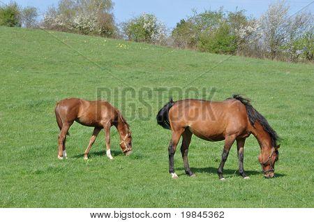 Ein Fohlen und ein Pferd