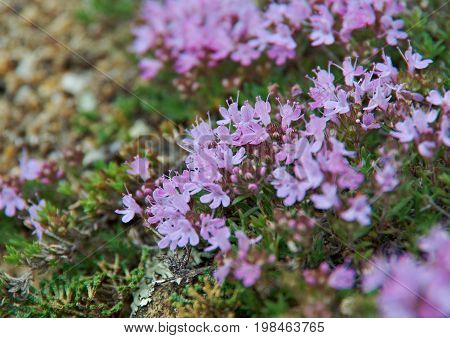 Thymus eubajcalensis near lake Baikal Russia Buryatia  Russia summer travel