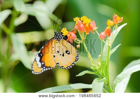 Beautiful Monarch butterfly pollinating on colorful flower in a garden