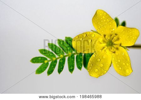 Yellow Flower Of Small Caltrops Weed, Isolated Flower On Gray Background