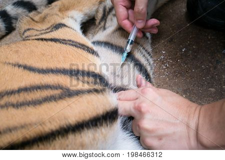 Veterinarian And Zookeeper Getting Blood  From The Tiger