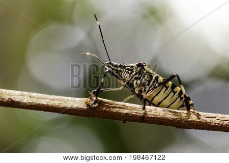 Image of stink bug (Eocanthecona furcellata) on a tree branch. Insect Animal