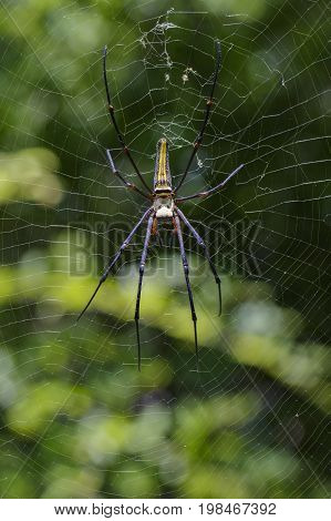 Image of Spider Nephila Maculata Gaint Long-jawed Orb-weaver in the net. Insect Animal