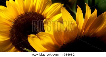Two Large Sunflowers