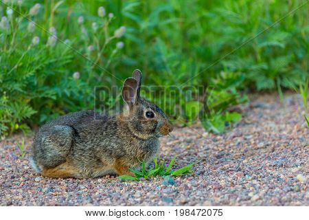 Eastern Cottontail Rabbit (Sylvilagus floridanus) eating grass in a Wisconsin July
