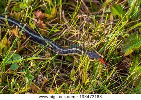 Eastern Ribbon Snake (Thamnophis sauritus) in the grass with forked tongue out