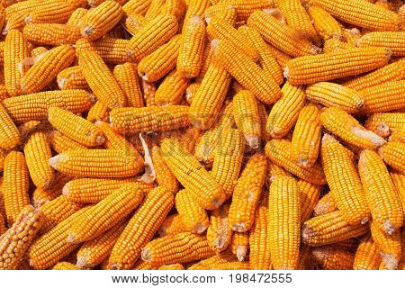 Corn harvest can be used a background
