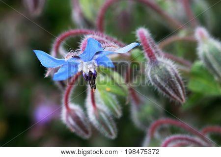 The edible flower Borago officinalis. Borage also known as a starflower