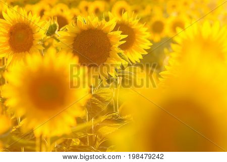 Amazing beauty of sunflower field with bright sunlight on flowers