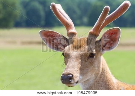 Sika deer portrait in nature. Cervus nippon deer in nature close up photo