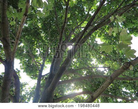 Sunlight piercing thru tree in summer with bright rays