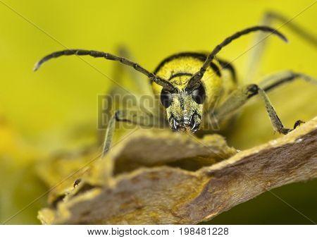 The colorful longhorn beetle species Chlorophorus varius .