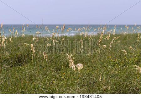 Sea Oats Near The Ocean, Color Image, Selective Focus, Horizontal Image