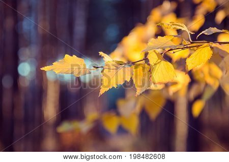 Branch of birch swaying in the wind in the forest