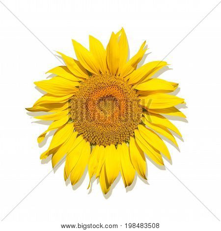 One Brightly yellow sunflower on a white isolated background unripened sunflower with yellow center