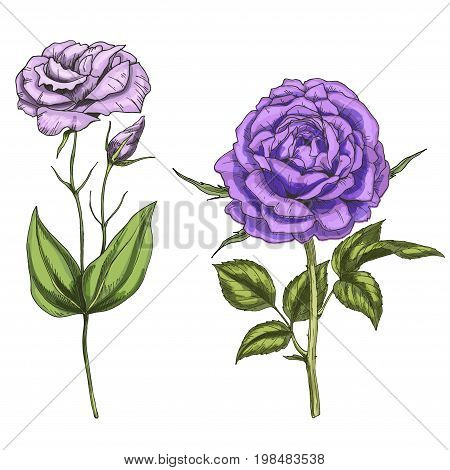 Violet rose and eustoma flowers bud leaves and stems isolated on white background. Botanical