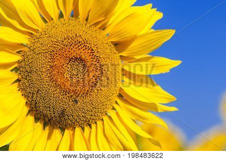 A bee flies near a sunflower A close-up of one young bright yellow sunflower on a sunflower field in a warm sunny day the background is blurred a blue noob