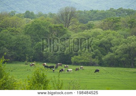 Summer, cows in the meadow, herd, greens, forest, glade, field, milk, forage,