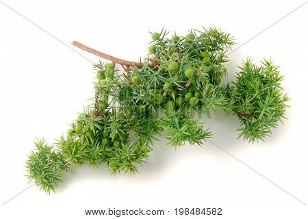 Green juniper branch with berries isolated on white background.