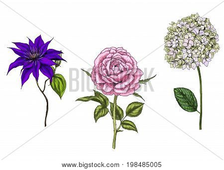 Set with rose clematis and phlox flowers leaves and stems isolated on white background. Botanical
