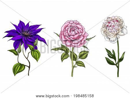 Set with peony clematis and rose flowers leaves and stems isolated on white background. Botanical