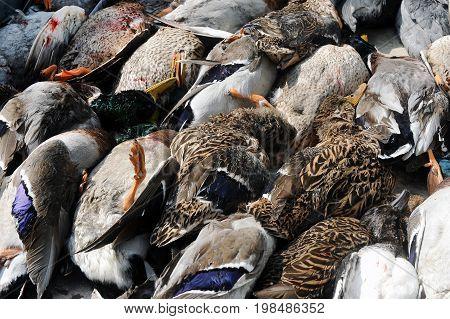 Pile of dead ducks after a hunt