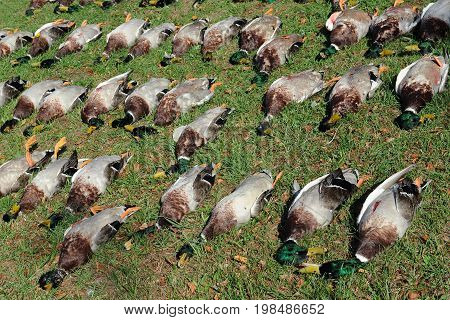Dead ducks on the grass after a hunt