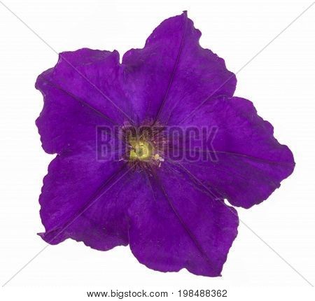 violet flower of petunia isolated on white background.