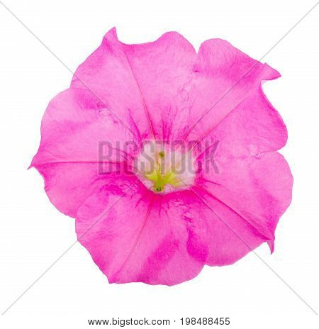 pink flower of petunia isolated on white background.