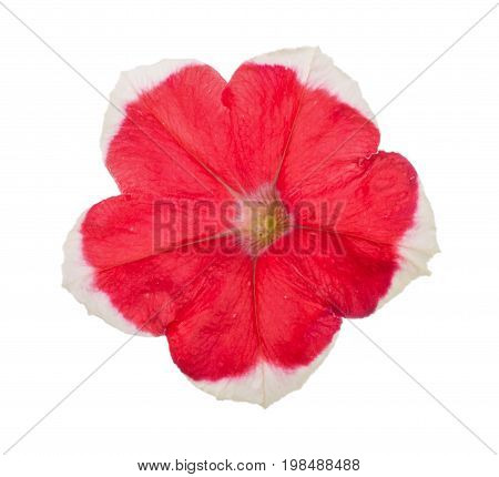 Red-white flower of petunia isolated on white background.
