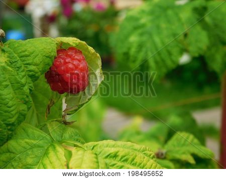 Raspberry is ripening on a branch in a garden