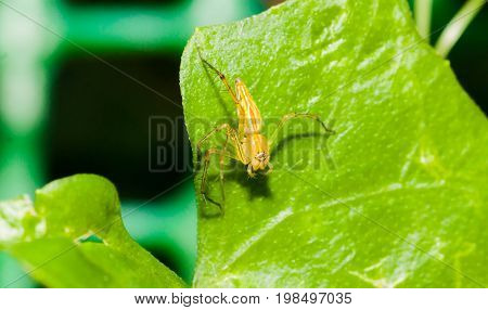 Close up of yellow jumper spider on the green leaf
