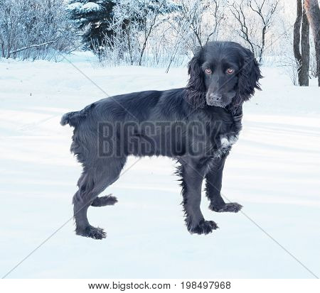 Hunting dog Black Cocker Spaniel isolated on white background walks in the winter park covered with snow