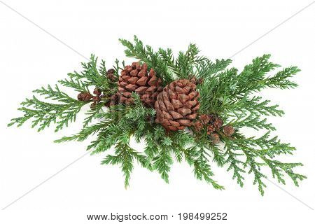 Winter and Christmas decoration of cedar cypress and juniper leaf sprigs with pine cones on white background.