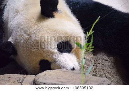 Closeup of panda bear lying on its belly staring at a bamboo sprig.