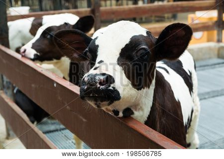 Cute Little Black And White Baby Cow
