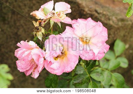 Light Pink roses growing in a garden