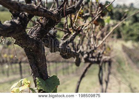 Trellised vine on the Ocean View Winery Australia in autumn with a view down a row of vines in receding perspective in a wine making concept